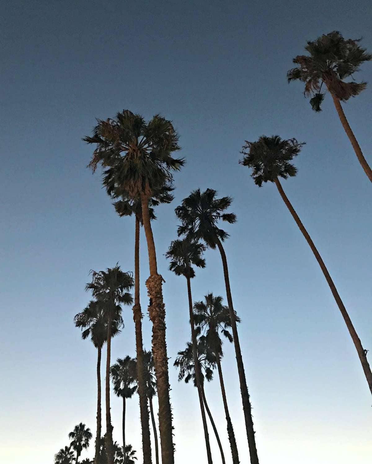 Palm Trees in Santa Barbara