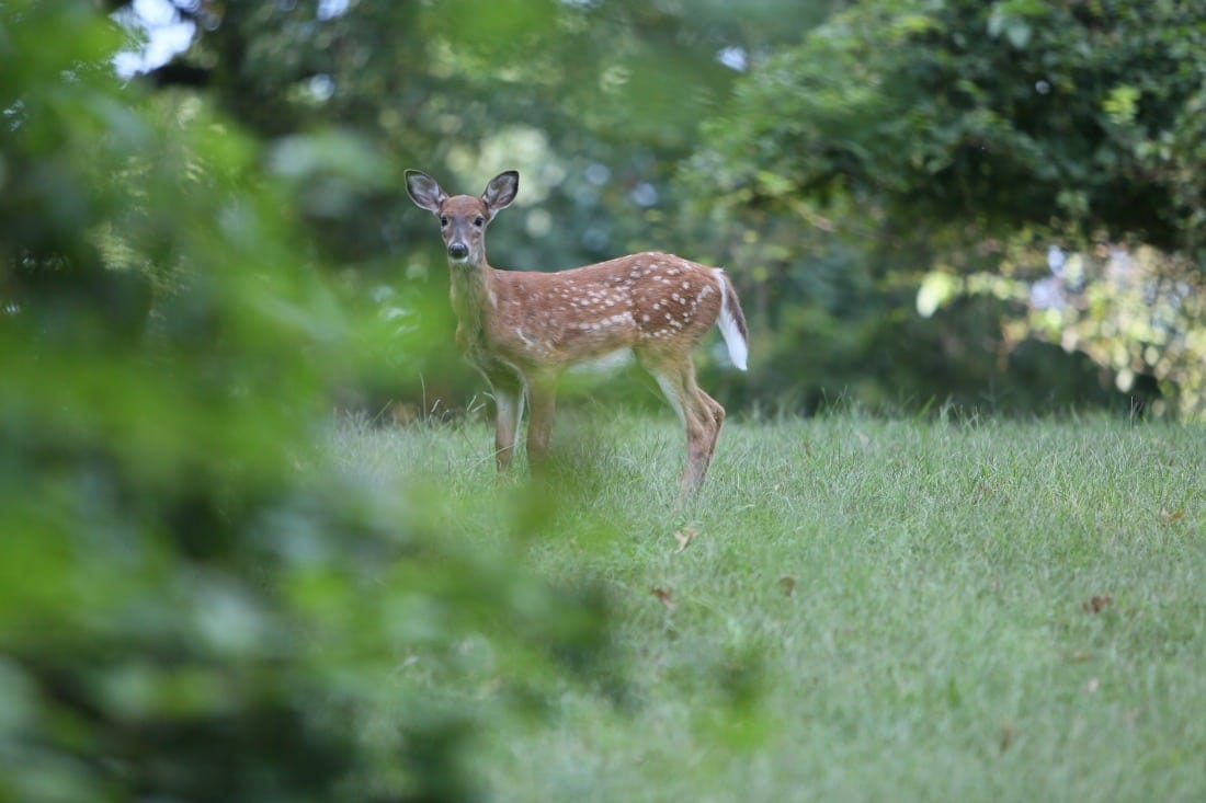 Deer on the Bostwick House property in Bladensburg, Maryland