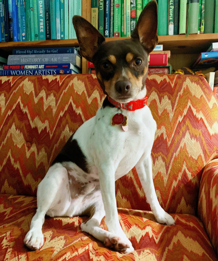 rat terrier dog sitting on an orange couch