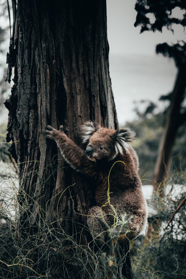 Photo of a koala bear hugging a tree